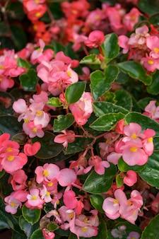 Bluming roze herfst geraniums abstracte textuur