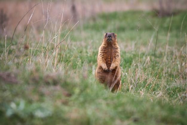Bobak of marmot in zijn natuurlijke habitat