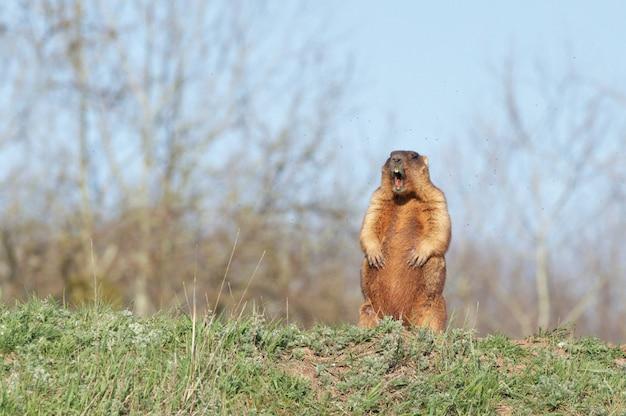Bobakmarmot die zich op achterpoten bevinden