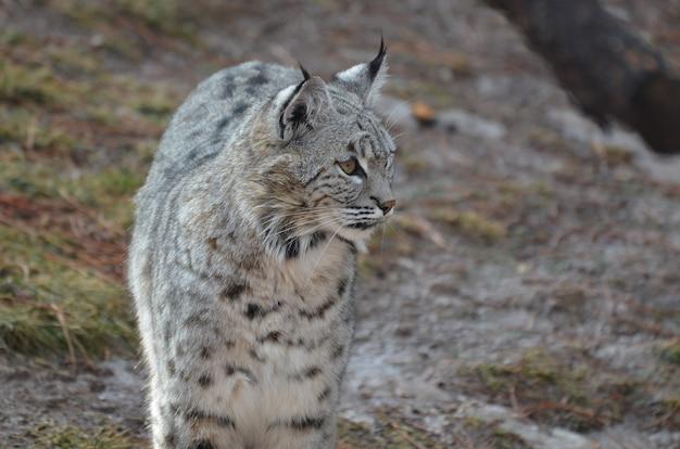 Bobcat erg benieuwd naar zijn omgeving.