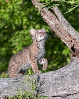 Bobcat kitten bij hunting practice
