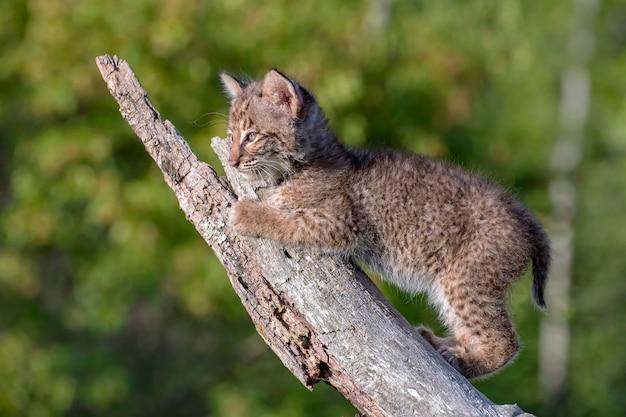 Bobcat kitten die een oud gevallen logboek beklimmen