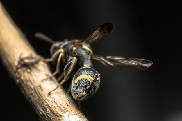 Bodem van zwart insect in gele streep met koord