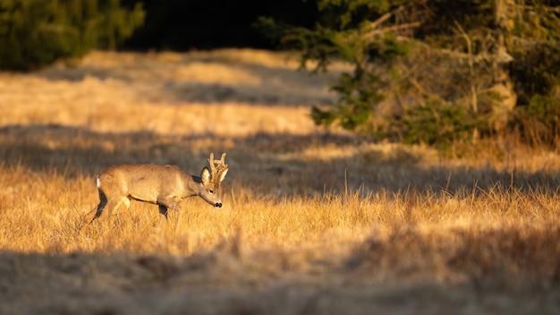 Boeiende foto van reeënbok die in het ochtendlicht loopt