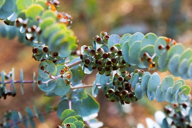 Boekblad-mallee-plant
