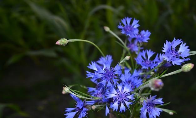 Boeket van blauwe korenbloemen op een gras