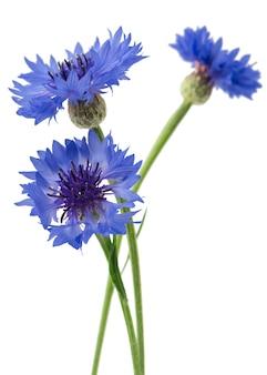 Boeket van blauwe korenbloemen