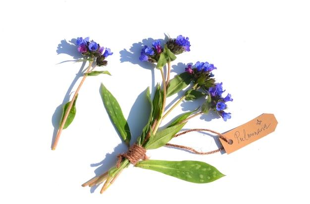 Boeket van gemeenschappelijke lungwort (pulmonaria officinalis) op een witte ondergrond. een label geeft de naam van de plant aan