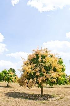 Boeket van mango en mango op de boom
