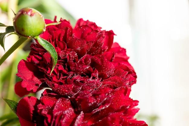 Boeket van mauve pioenrozen op een tuin table.flower arrangement. boeket van rode pioenrozen, lat. paeonia lactiflora in vaas op witte achtergrond. kopieer ruimte