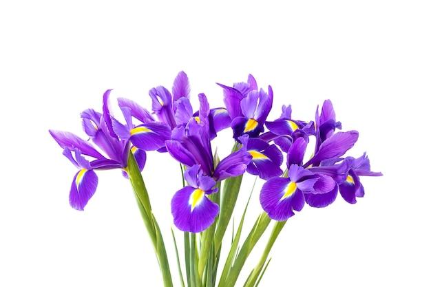 Boeket van mooie paarse irissen geïsoleerd