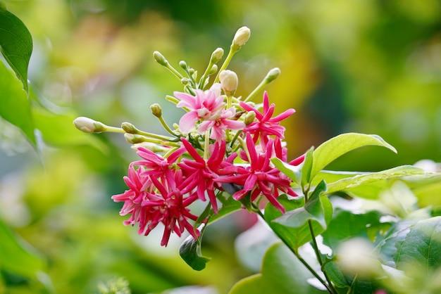 Boeket van mooie zachtroze, rode en roze rangelklimplant of dronken zeemansbloem.