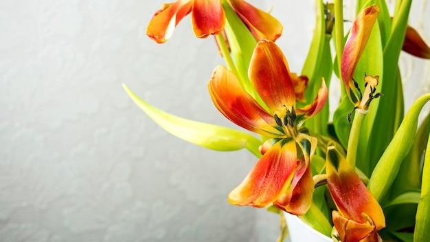 Boeket van rode verwelkende tulpen met vliegende bloemblaadjes op lichtgrijze achtergrond. kopieer ruimte voor tekst.