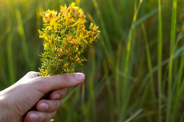 Boeket van sint-janskruid in je hand op een achtergrond van gras in een zonnestraal. geneeskrachtige kruiden, theecollectie, alternatieve geneeskunde. zomertijd, platteland, ecologie, harmonie met de natuur. ruimte kopiëren