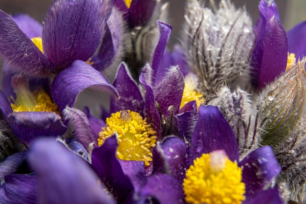 Boeket van sneeuwklokjes - de eerste lentebloemen. een bloem die de komst van de lente symboliseert. macro