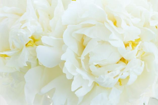 Boeket van verse witte pioenroos bloeit macroachtergrond