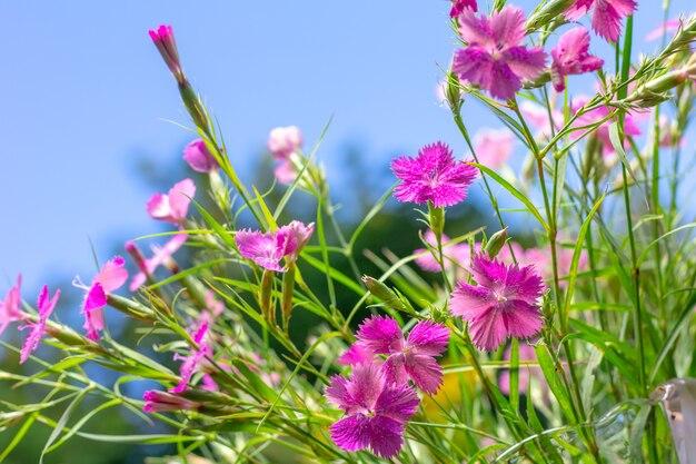 Boeket van wilde anjers tegen de blauwe lucht op een zonnige zomerochtend