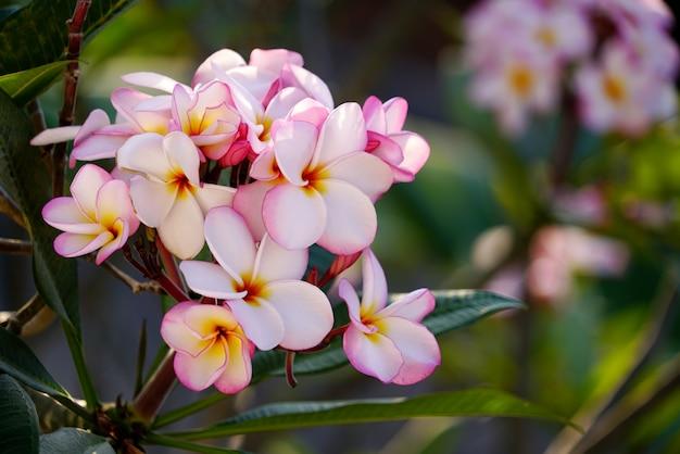 Boeket van zachtroze plumeria of frangipanibloem die op boom bloeit