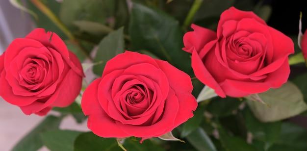 Boeket verse rozen, bloem lichte achtergrond.