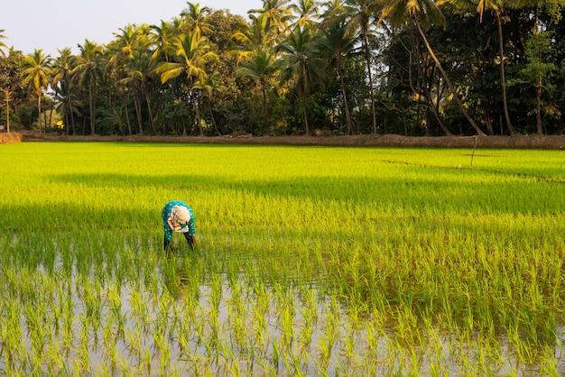 Boer aan het werk in een graanveld in india op een zonnige dag