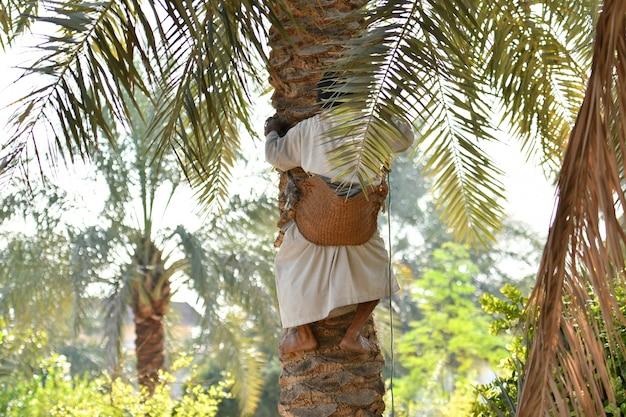 Boer aan het werk in het oogstseizoen van palm dadelpalm