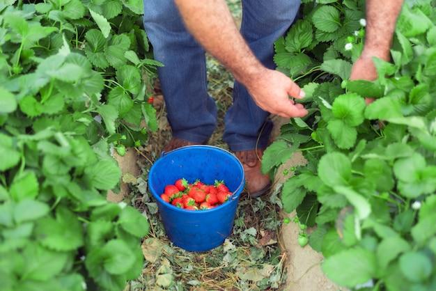 Boer aardbeien plukken in een kas