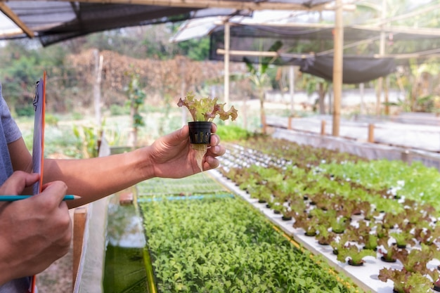 Boer controleert biologische hydroponische rode eik in plantenkwekerij.