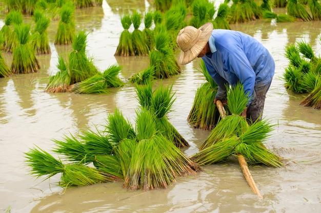 Boer die hoed draagt die rijst op padieveld plant