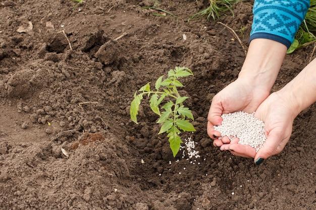 Boer geeft chemische mest aan jonge tomatenplant die in de tuin groeit.