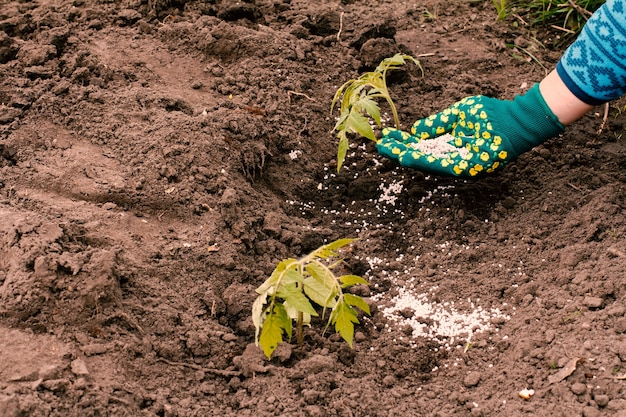 Boer geeft kunstmest aan jonge tomatenplant die op een tuinbed groeit growing