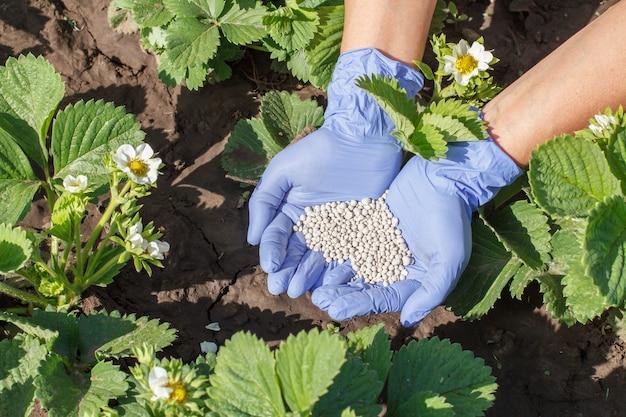 Boer geeft rubberen handschoenen aan jonge aardbeienstruiken tijdens hun bloeiperiode in de tuin