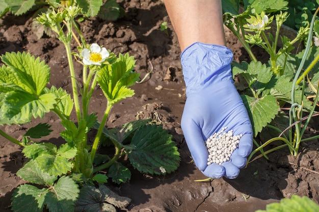 Boer hand in rubberen handschoen die kunstmest geeft aan jonge aardbeienstruiken tijdens hun bloeiperiode in de tuin