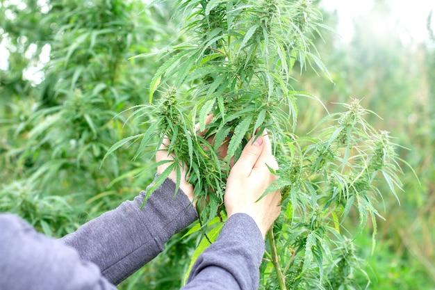 Boer hand met cannabis op de boerderij.