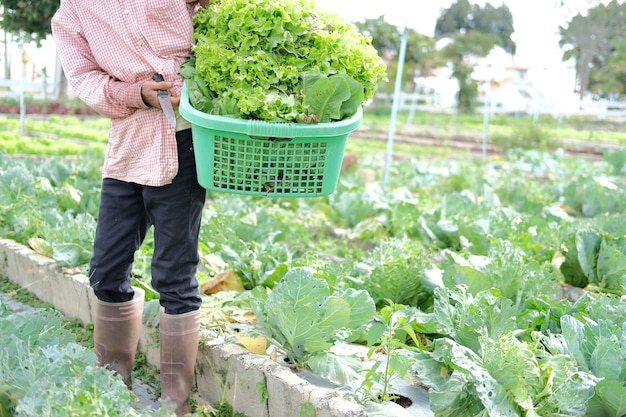 Boer hand met mand met verse sla groente oogsten van boerderij