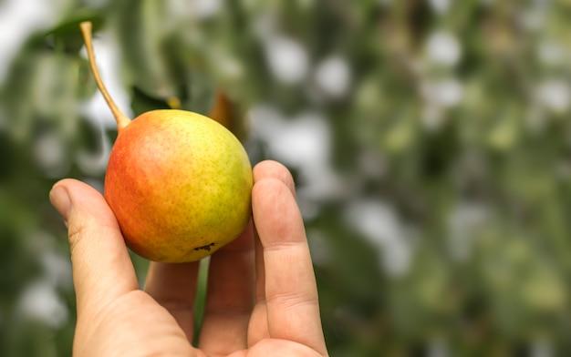 Boer houdt een rijpe mooie peer tegen de achtergrond van een tuin met een kopie van de ruimte.