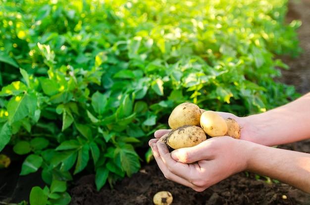 Boer houdt vers geplukte aardappelen in het veld oogst oogst biologische groenten