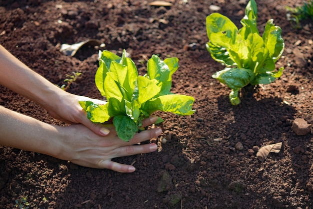 Boer met andijvie planten groeien op vruchtbare grond