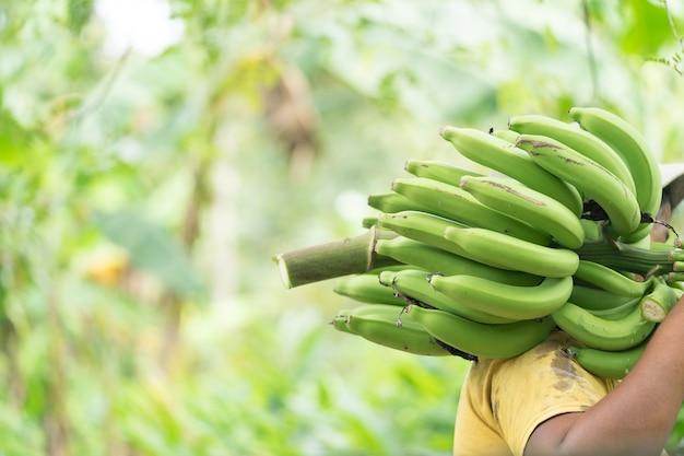 Boer met groene banaan op boerderij. arbeid met groene banaan voor verkopen.