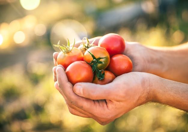 Boer met verse tomaten bij zonsondergang. voedsel, groenten, landbouw