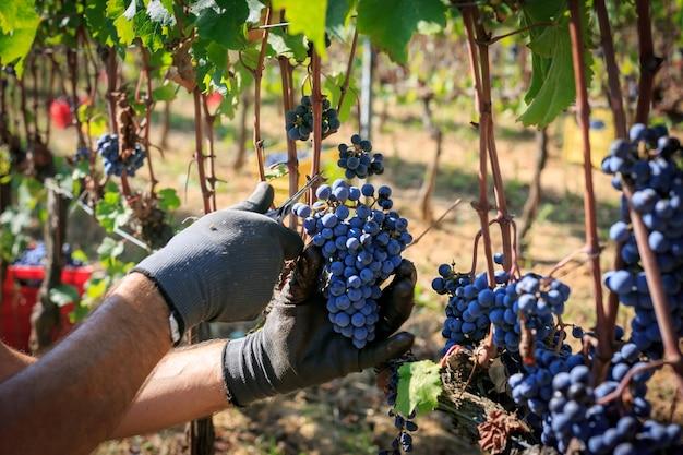 Boer oogst druiven met een schaar