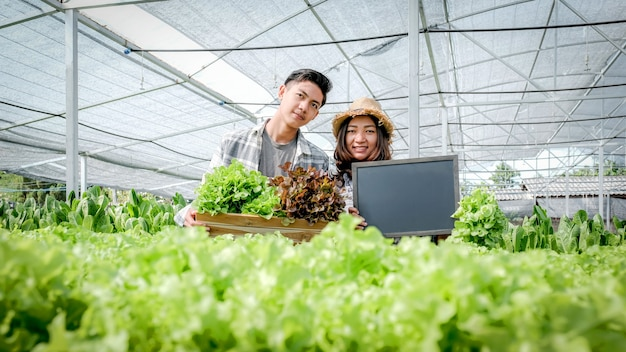 Boer oogst plantaardige biologische salade, sla van hydrocultuur boerderij voor klanten.