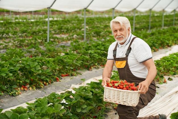 Boer op knieën oogst rijpe aardbeien