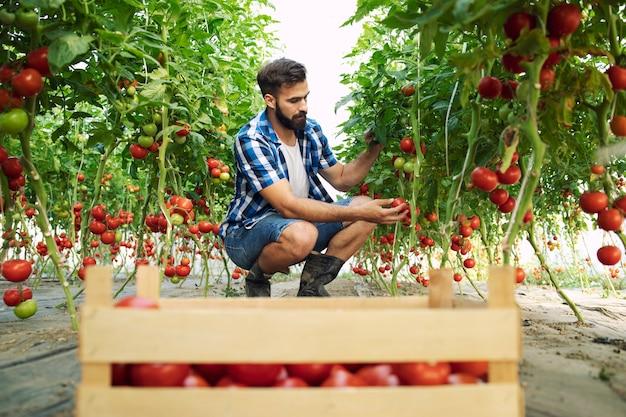Boer oppakken van verse rijpe tomatengroenten en in houten kist brengen