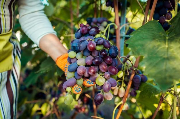 Boer plukken oogst van druiven op ecologische boerderij. vrouw die blauwe tafeldruiven met pruner snijdt