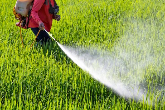 Boer sproeien van pesticiden in het rijstveld voor bescherming zaailing tegen insecten.