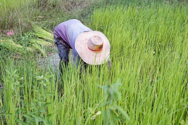 Boer trekt rijstzaailingen in rijstveld, rijstteelt, rijstplantage terug