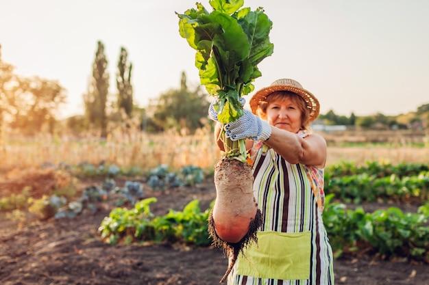 Boer trok rode biet uit de grond en hield hem vast. groenten plukken.