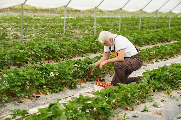 Boer verzamelt aardbeien in kas