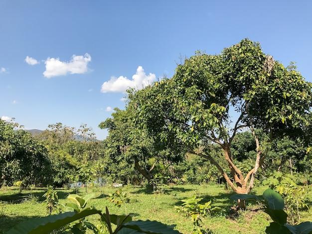 Boerderij lychee boom 's middags in chiangrai, thailand