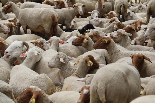 Boerderij van getrimde witte en bruine schapen en rammen